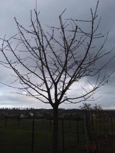 Cerisier d'une dizaine d'années